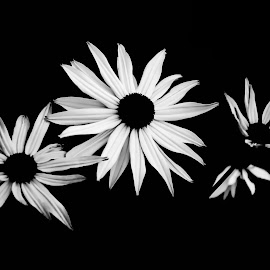 Black & White beauty by A.S.H Photography - Nature Up Close Gardens & Produce ( beautiful flower, black and white, beautiful, flowers, close up, photography )