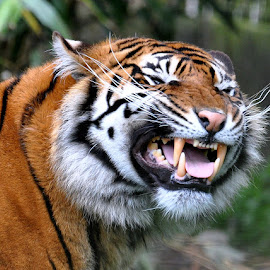 Sumatran Tiger by Mark Mcneill - Animals Lions, Tigers & Big Cats