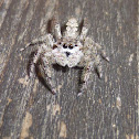 Large Diamond-backed Jumper