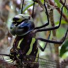 Paddletail Darner
