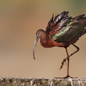 The Mettalic Dancer by Sharad Agrawal - Animals Birds ( bird, glossy, ibis, nature, udaipur, rajasthan, wildlife, india, mettalic, birds, dancer )