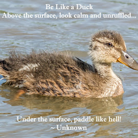 Be Like a Duck! by Jennifer McWhirt - Typography Quotes & Sentences ( mallard duckling, animals, quotes, photographybyjenmcwhirt.com, tennessee, wildlife, typography, birds )