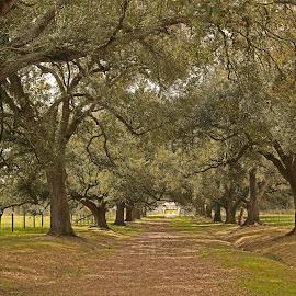 LSU Oak alley by Ron Olivier - Landscapes Travel ( lsu oak alley,  )