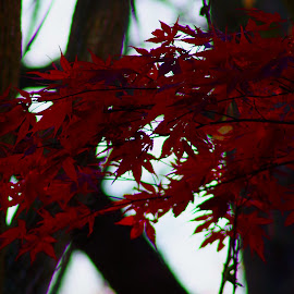 Red Maple by Buddy Boyd - Nature Up Close Leaves & Grasses ( spray, red, color, ozarks, maple,  )