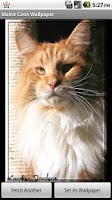 Screenshot of Maine Coon Wallpaper