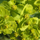 Serrated spurge
