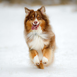 Snow Daze by Morgan Baumgartner - Animals - Dogs Running ( #australian shepherd, #aussie, #smile,  )