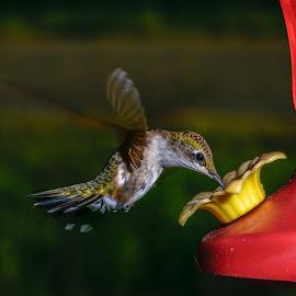 Jennifer by Gregg Pratt - Animals Birds ( hummingbird )