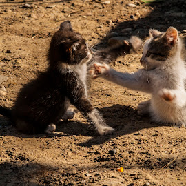 Boxing time by Calin Precup - Animals - Cats Kittens ( playing, cats, playful, boxing, kittens )