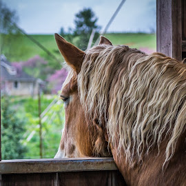 A horse with a view by Leon Herbert - Animals Horses ( nc, asheville, g+, biltmore, bert, belgian draft horse, leon herbert photography )