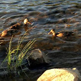 Saucy ducks by Liz Hahn - City,  Street & Park  City Parks