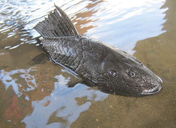Suckermouth Sailfin Catfish Project Noah