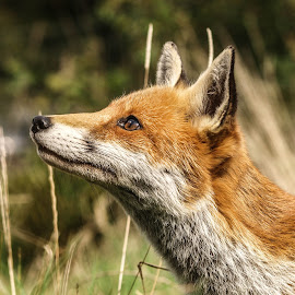 Feed me by Garry Chisholm - Animals Other Mammals ( canine, garry chisholm, red, fox, nature, wildlife )