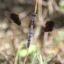 Band-Winged Dragonlet Dragonfly
