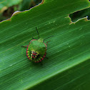 Green stink bug nymph