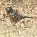 Catalina Spotted Towhee