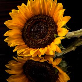 Reflections by Cristobal Garciaferro Rubio - Flowers Single Flower ( drop, drops, sunflower, flowers, flower )