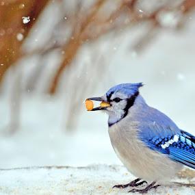 Blue Jay by Jaliya Rasaputra - Animals Birds ( bird, snow, blue jay,  )