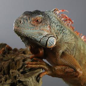 Iquana by Jack Nevitt - Animals Reptiles