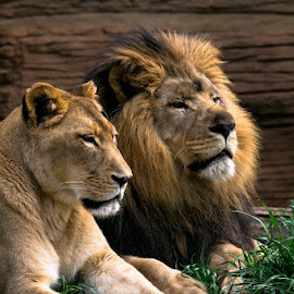 my pair by Gregg Pratt - Animals Lions, Tigers & Big Cats ( lion )