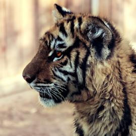 by Chris Ciantar - Animals Lions, Tigers & Big Cats ( big cat, tiger, cubs )
