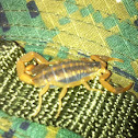 Common striped scorpion