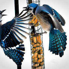 Squabble by Stan Lupo - Animals Birds ( birds fighting, hdr, blue jays, avian art, birds at the feeder, bird photography, birds in flight,  )