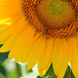 Sunflower by Diane Clontz - Novices Only Flowers & Plants ( bee, happy, summer, sunflower, yellow )