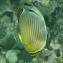 Oval Butterflyfish - kapuhili