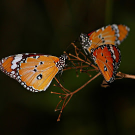 butterfly photography by 'Ashik Ahmed' - Novices Only Macro