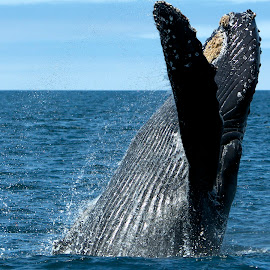 Humpback Whale breaching by Wade Tregaskis - Animals Sea Creatures ( humpback, whale )