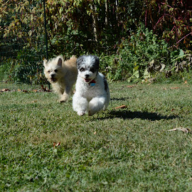 Here they come! by Julie Reeves - Animals - Dogs Running ( poodle, happy little dogs, chipoo, little dogs running, little dogs )