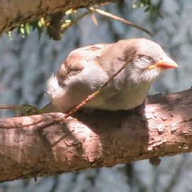 Napping in the Sun by Erika  Kiley - Novices Only Wildlife ( bird, baby, sleep, spring, sparrow )