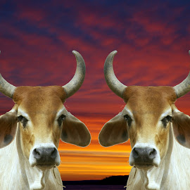 Twin Cows by Joerg Schlagheck - Digital Art Animals ( sexy, cow, bull, another bull and cow )