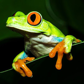 Red Eyed Tree Frog by Lisa Coletto - Animals Amphibians (  )