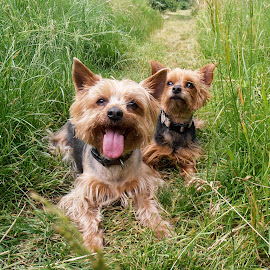 Yorkshire brother and sister by Renata Horáková - Animals - Dogs Portraits