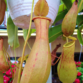 Pitcher Plant by Christine Keaton - Nature Up Close Other plants