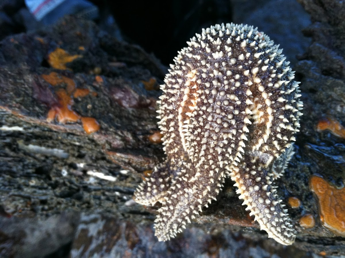 common northern sea star