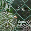 Spider web of a Spiny orb-weaver