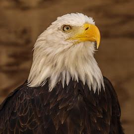 Regal by Garry Chisholm - Animals Birds ( bird, garry chisholm, eagle, nature, wildlife, prey, raptor, bald )