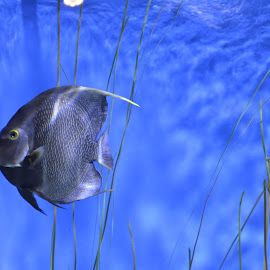 Fish in the blue ... by Anu Banerjee - Animals Fish ( water, marine, aquatic, blue, fish )
