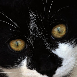 Look into my eyes by Holly Miller-Pollack - Animals - Cats Kittens