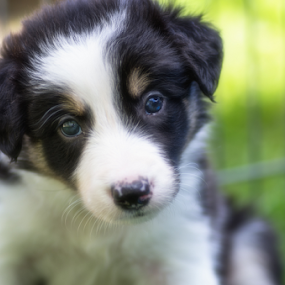 Little Heartbreaker by Karen Havenaar - Animals - Dogs Puppies ( border collie, adorable, puppy, cute, portrait )