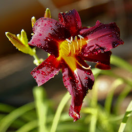 Day Lily Watered by Judy Patching - Novices Only Flowers & Plants ( day lily watered )