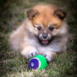 Willow by Gary Want - Animals - Dogs Puppies ( queensland, australia, puppy, dog, portrait, pomeranian )