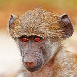 Young Baboon by Chris Krog - Animals Other Mammals ( baboon, juvenile )
