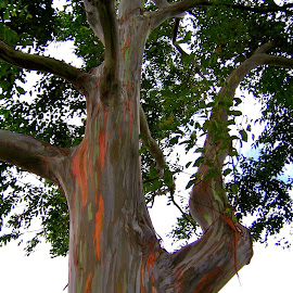 Rainbow Eucalyptus by Tyrell Heaton - Nature Up Close Trees & Bushes ( rainbow eucalyptus, north shore, oahu, hawaii )