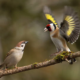 Carduelis carduelis vs passer by Dragomir Taborin - Animals Birds