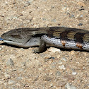 Eastern Blue-tongued Skink