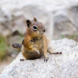 Chipmunk  by Anastasyia Sukhorukova - Animals Other ( mountains, nature, chipmunk, colorado, denver,  )